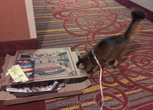 somali cat looking inside empty pizza box
