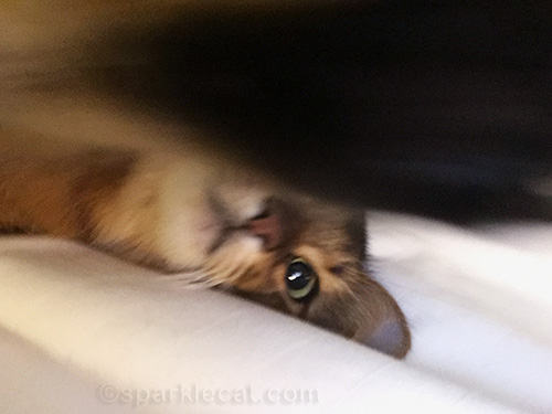 somali cat lying down and setting up iPhone for selfie