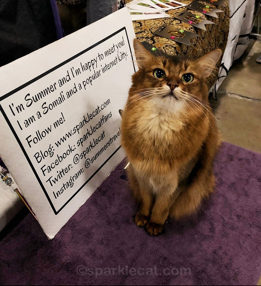 Somali cat posing at the San Diego Cat Show