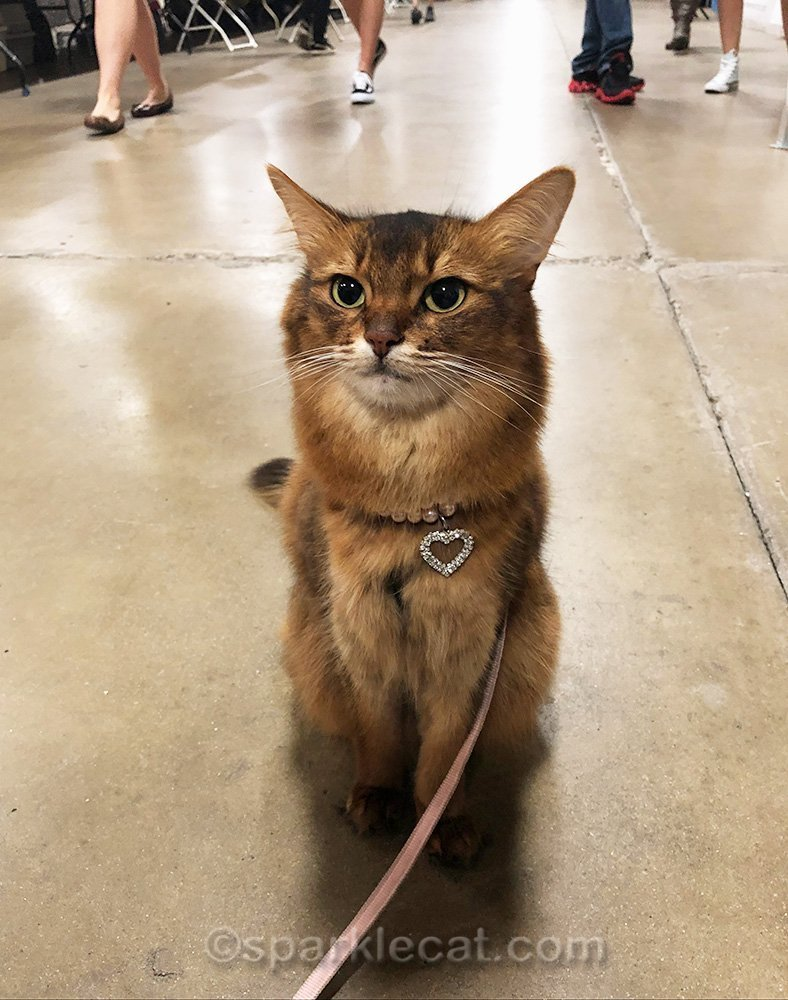 somali cat on leash in San Diego Cat Show hall