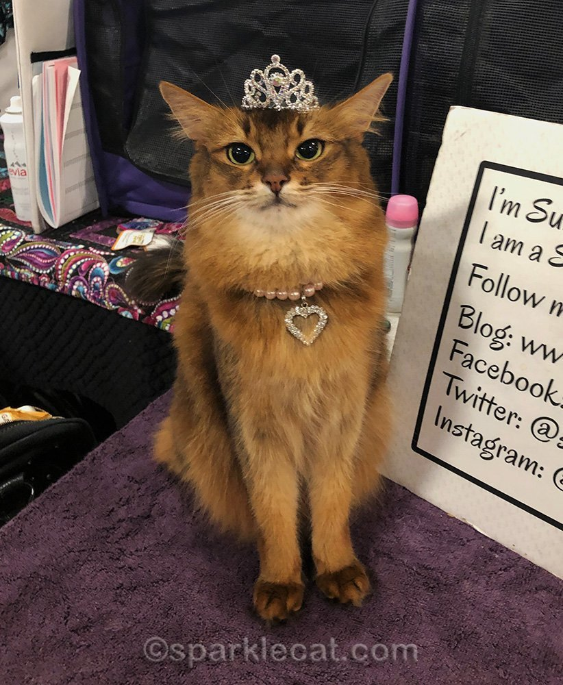 somali cat wearing small tiara