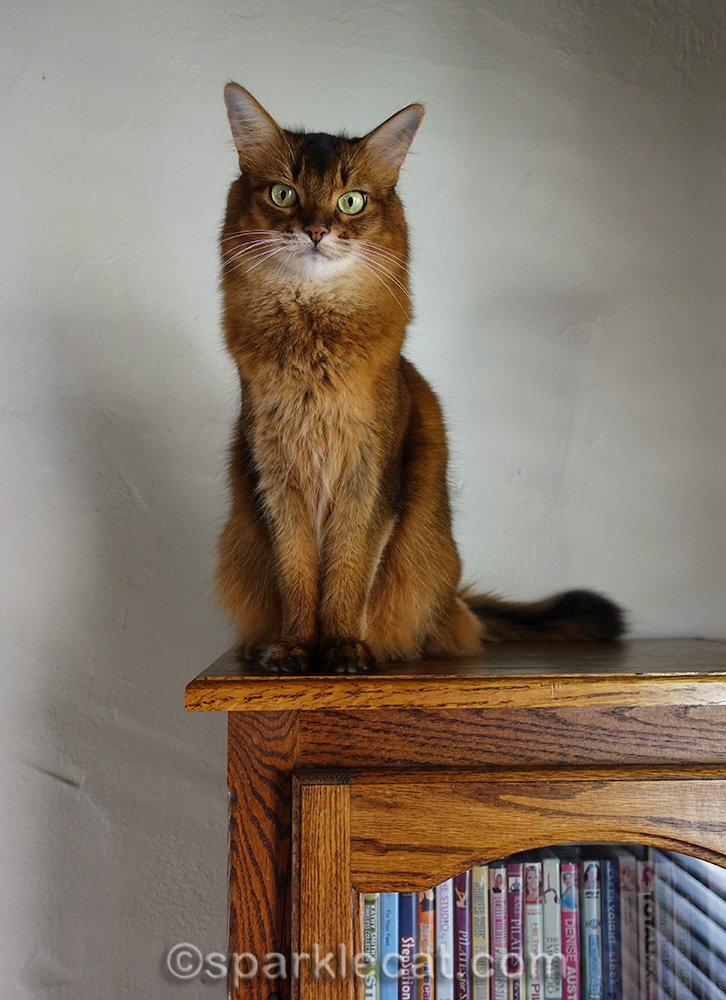 somali cat on top of bookcase
