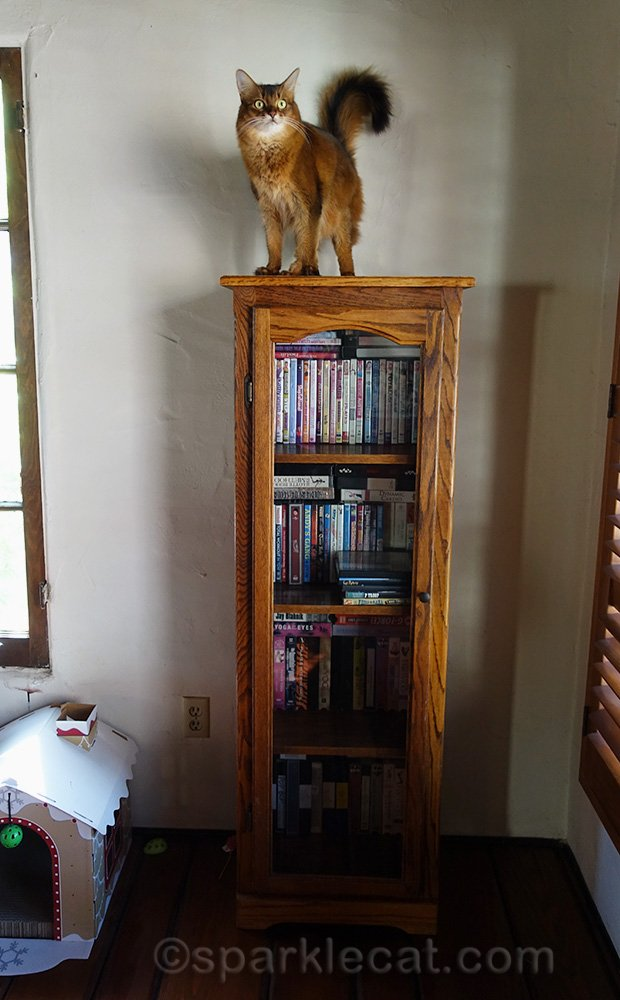somali cat on top of tall bookcase