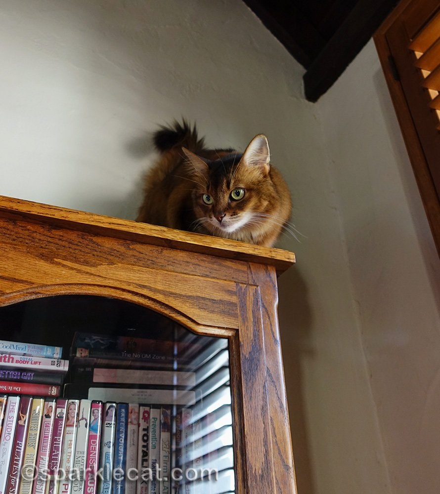 somali cat looking down there