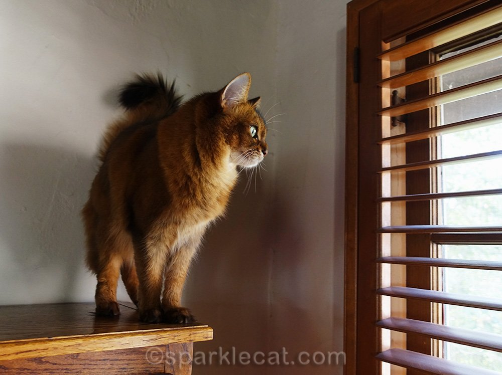 somali cat looking out living room window