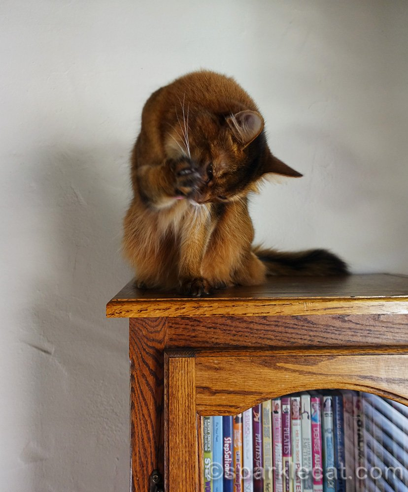 somali cat cleaning her toe floof