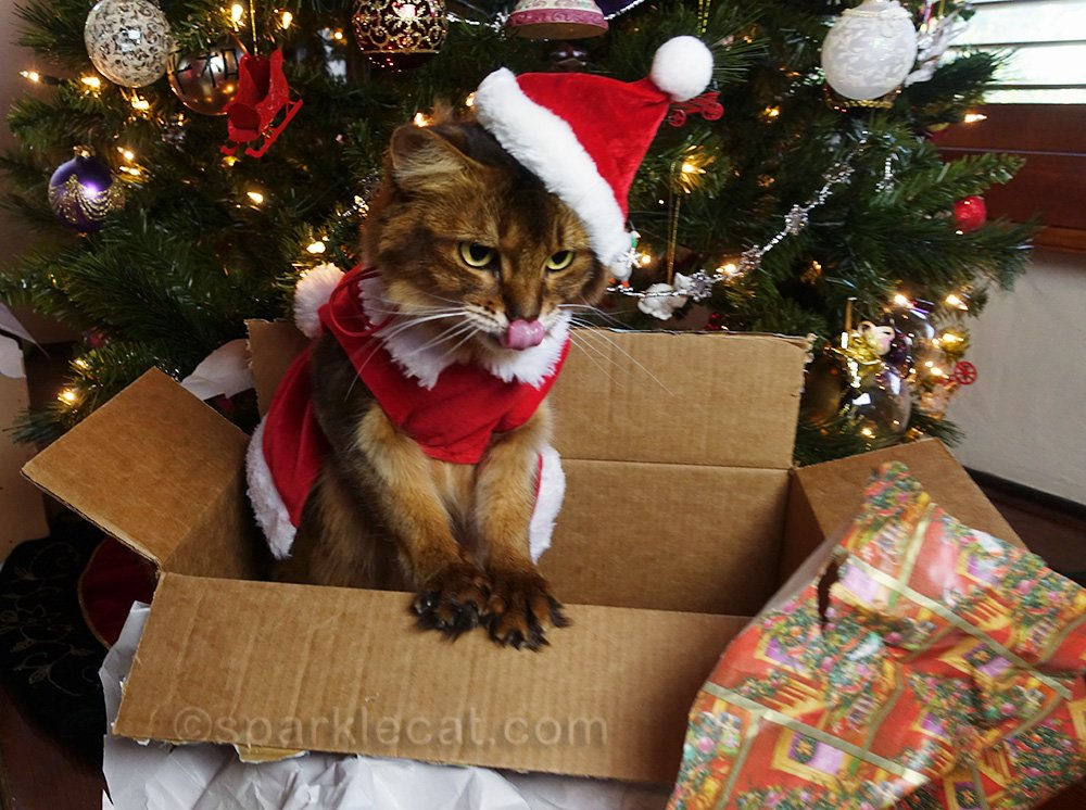 somali cat in Santa outfit outtake