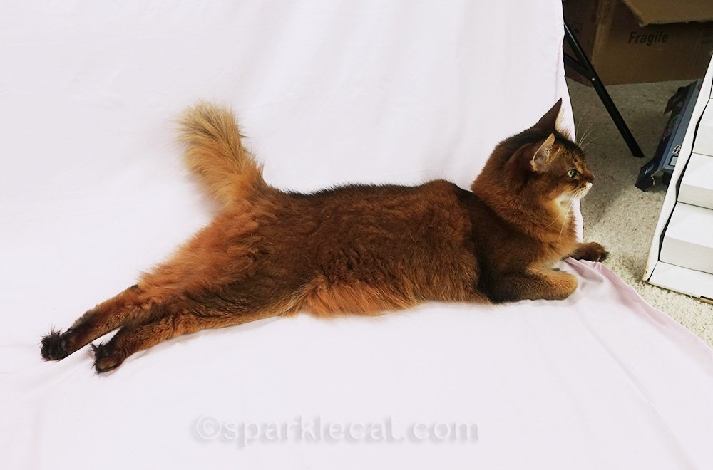somali cat waiting for photo session to be set up