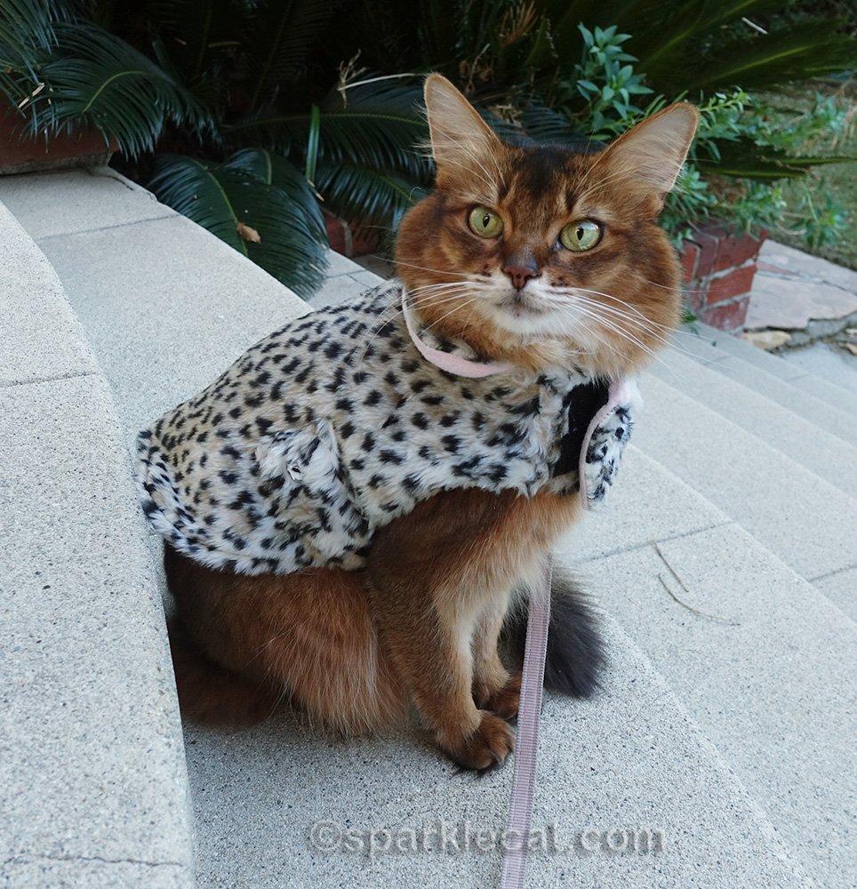 somali cat in coat, wanting to go back inside