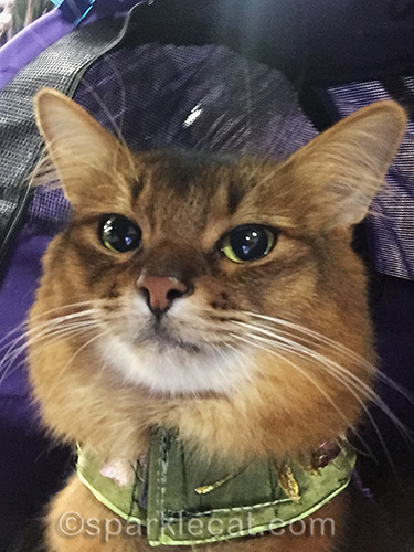 nice selfie of somali cat at cat show
