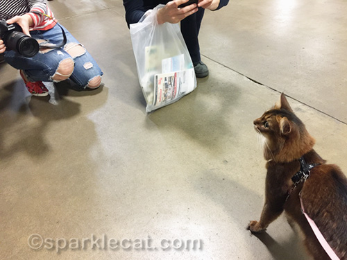 somali cat on leash posing for paparazzi