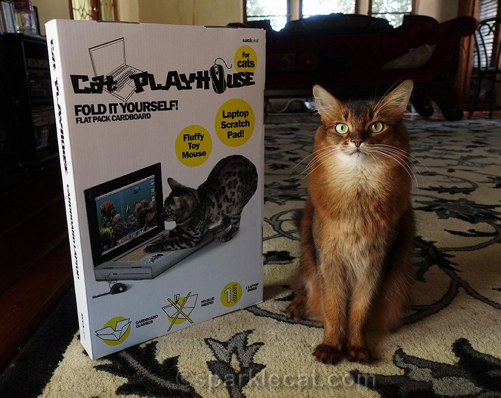 somali cat with new laptop scratcher
