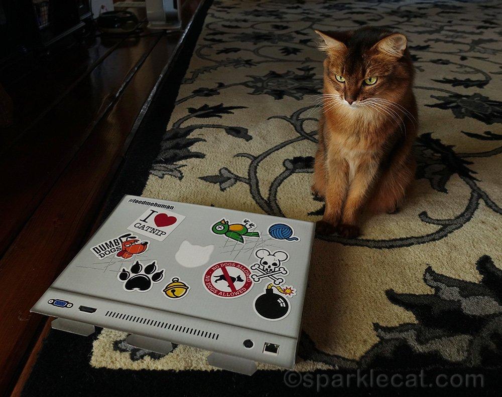 somali cat looking at new laptop