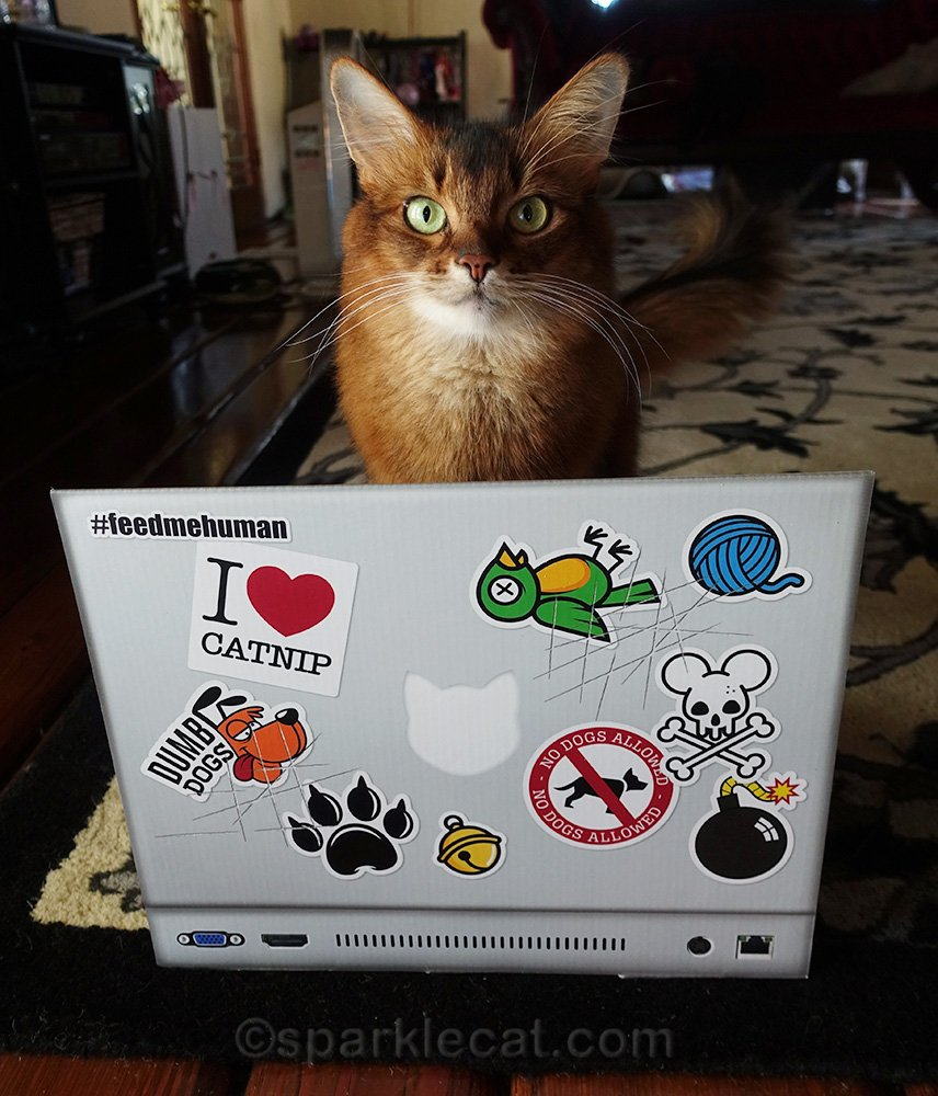 somali cat with new laptop