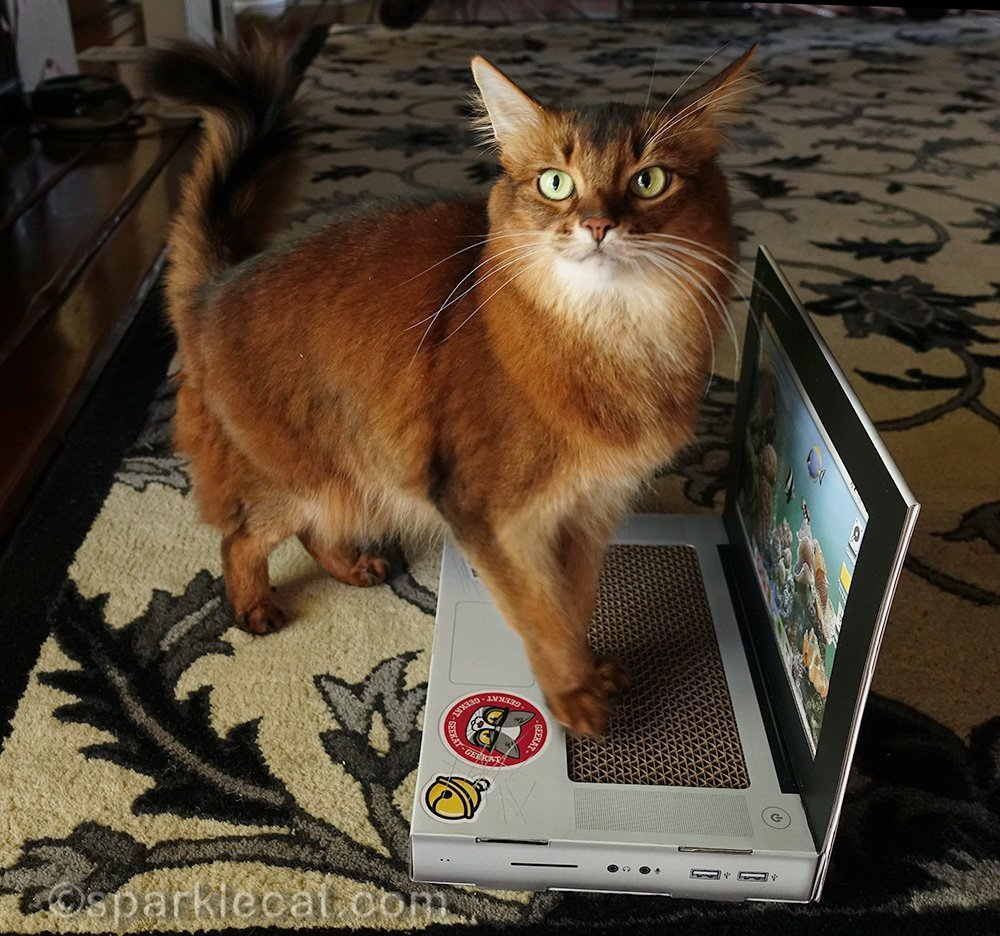 somali cat upset that her laptop is not working