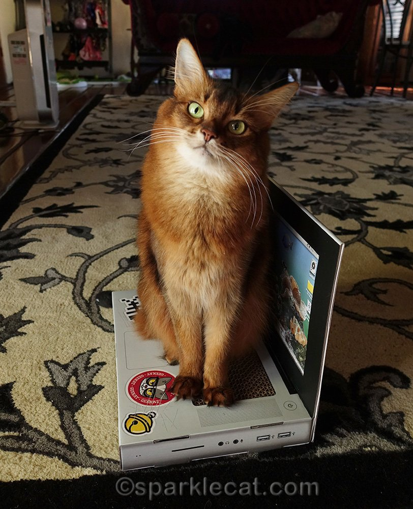 somali cat sitting on her laptop scratcher