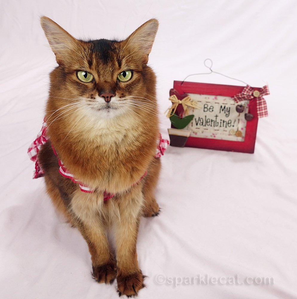 somali cat with Valentine sign in the background