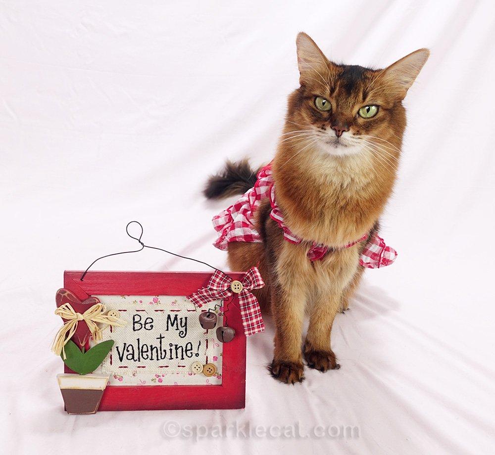 somali cat valentine's day photo session