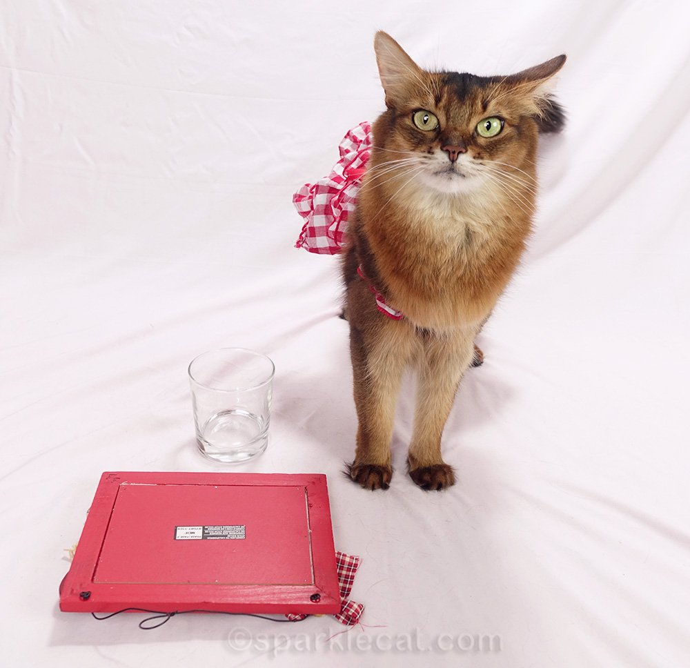 somali cat revealing how the sign was propped up