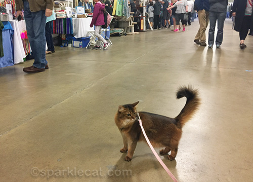 somali cat on leash walking around show hall