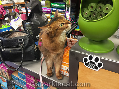 somali cat checking out doggy poop bags