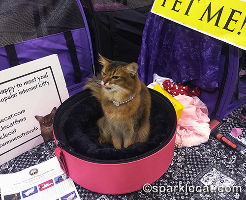 somali cat giving raspberry at cat show