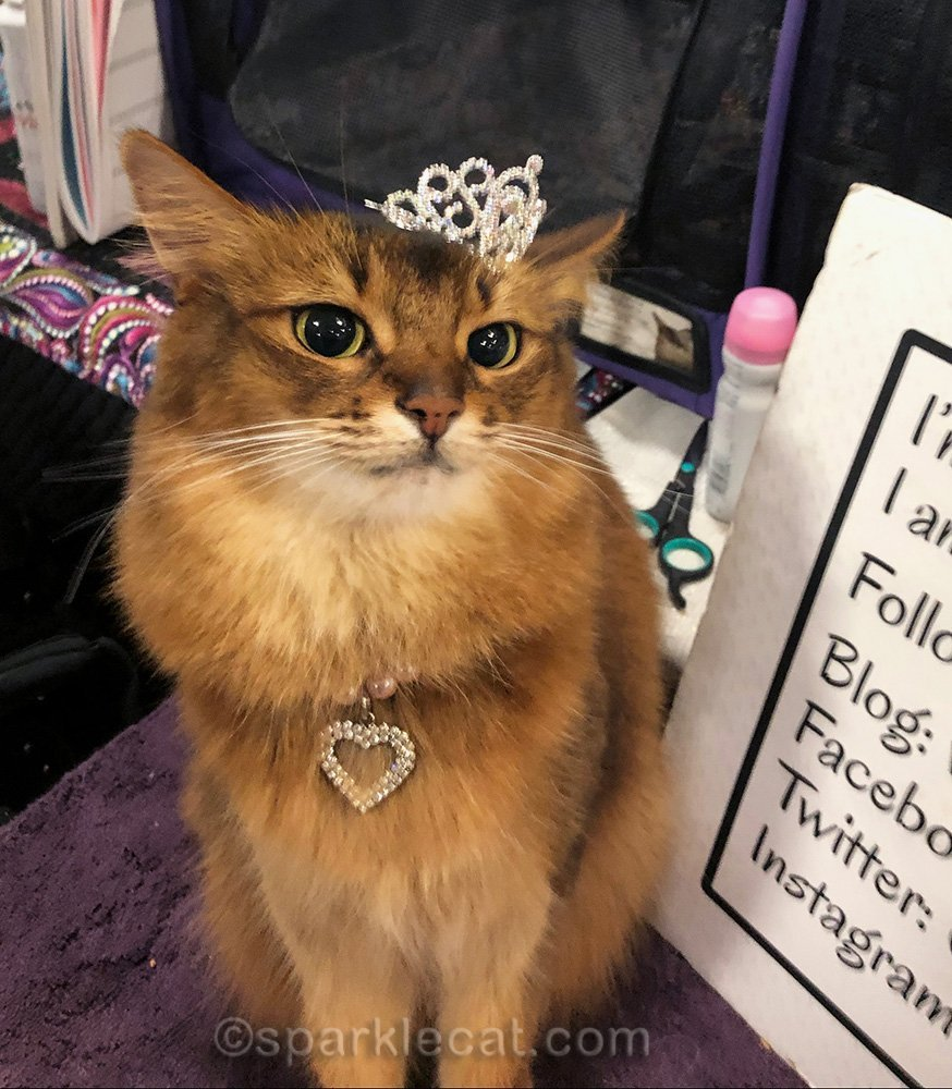 somali cat with tiara falling off her head