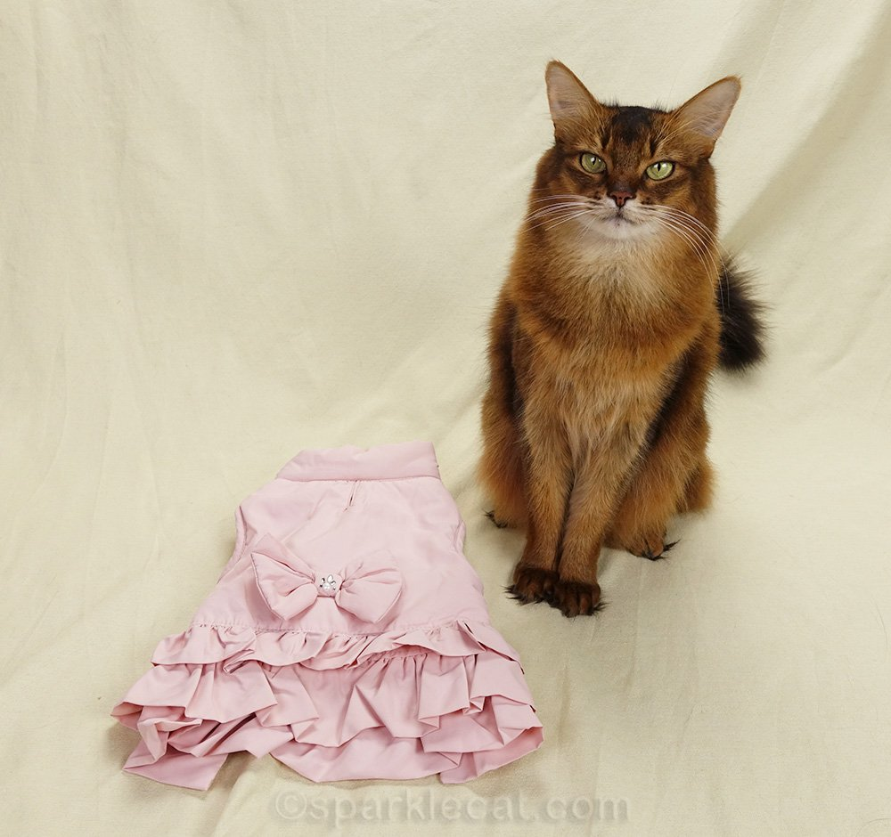 somali cat with her puffy pink jacket