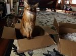 somali cat in a box, questioning her human's decisions