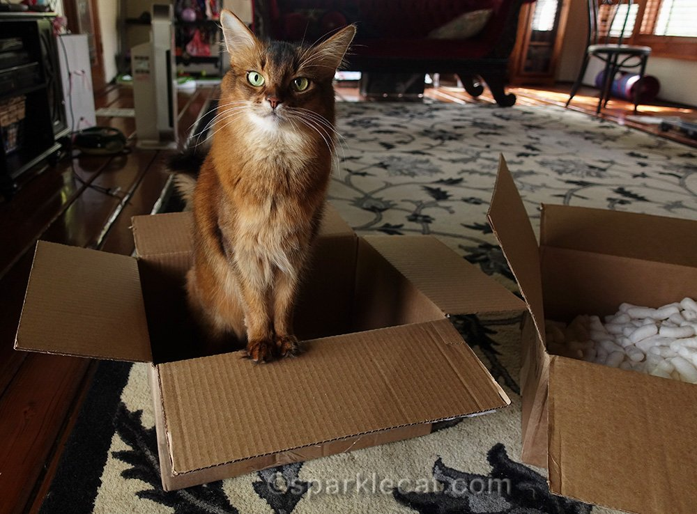 somali cat in a box, thinking, you want me to do what
