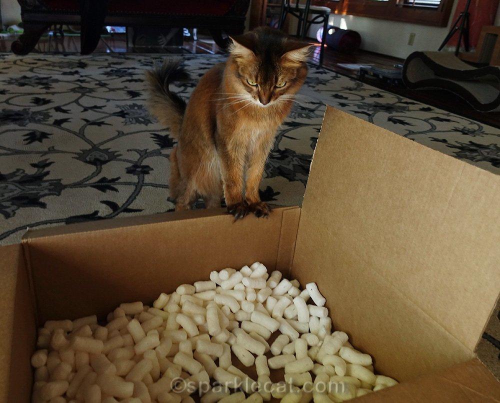 somali cat staring at packing peanuts