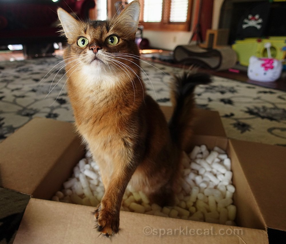 somali cat in box with packing peanuts, asking for treats