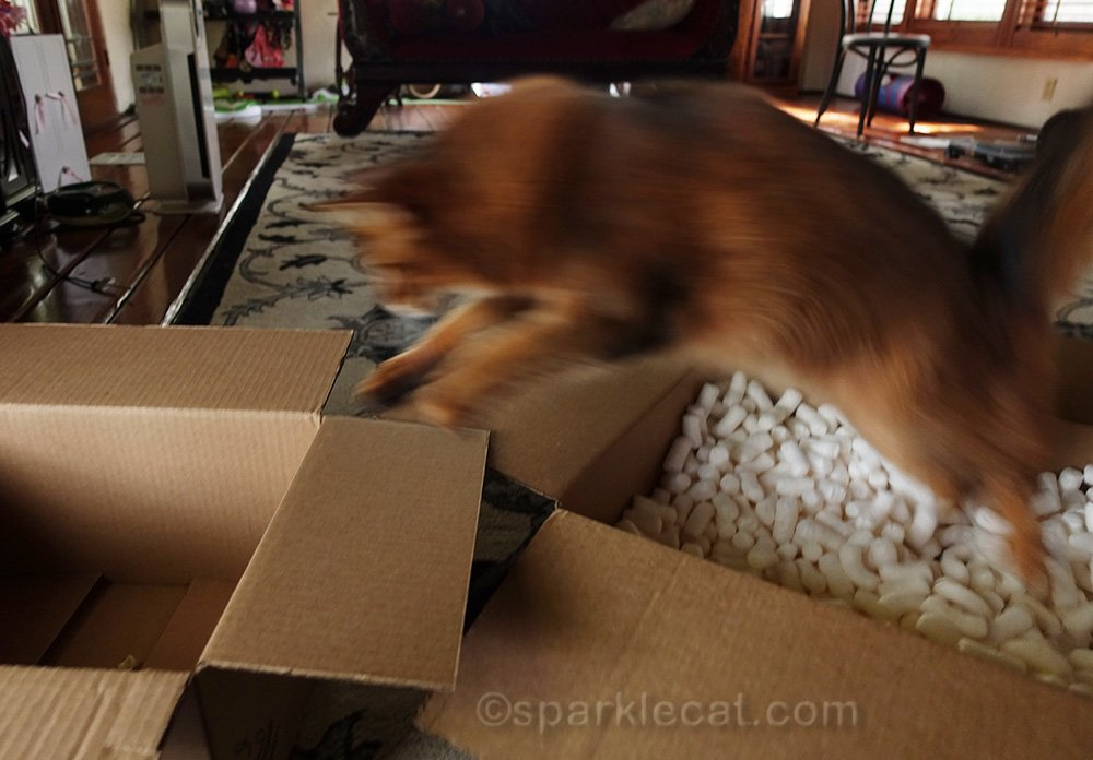 somali cat leaping into empty box for treat
