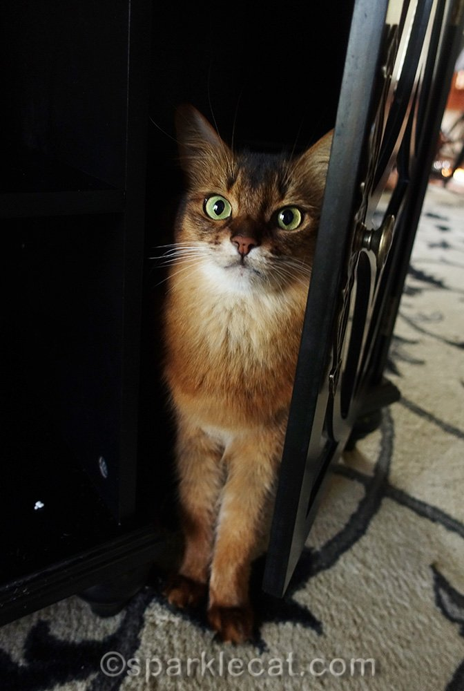 somali cat helping install door for media cabinet