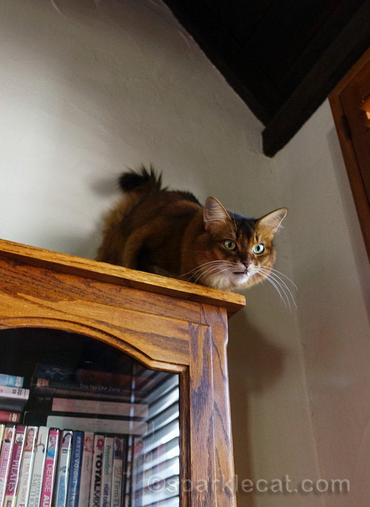 somali cat on bookcase, looking down