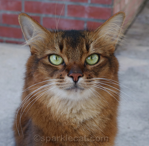 portrait of somali cat outdoors