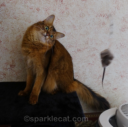 somali cat being playful