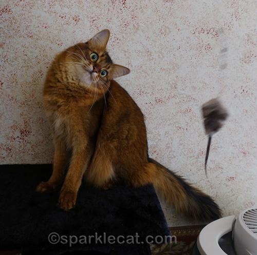 somali cat being playful