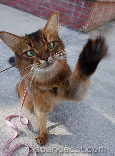 somali cat waving