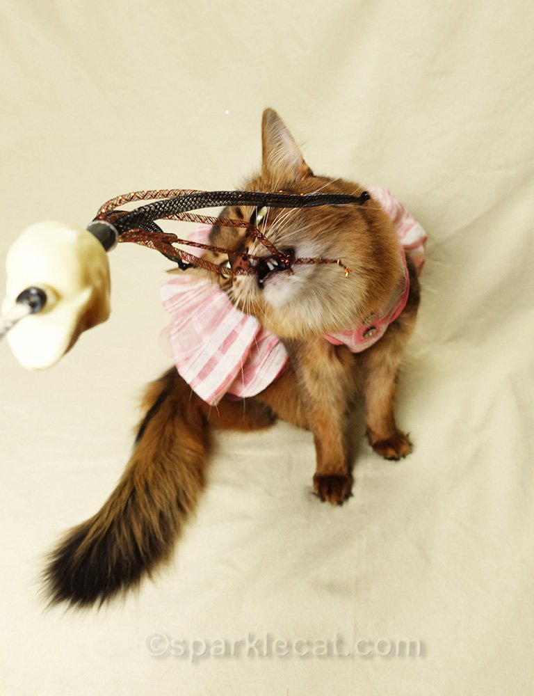 somali cat in dress playing with toy