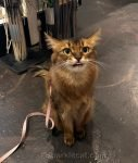 Somali cat with tongue out at pet store