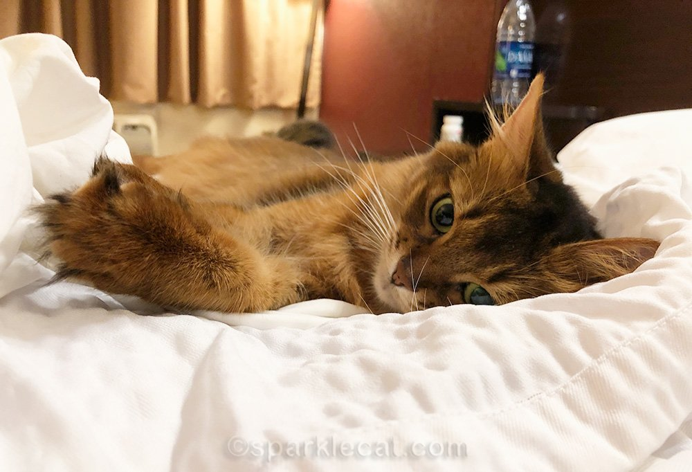 somali cat ready for bed in hotel room