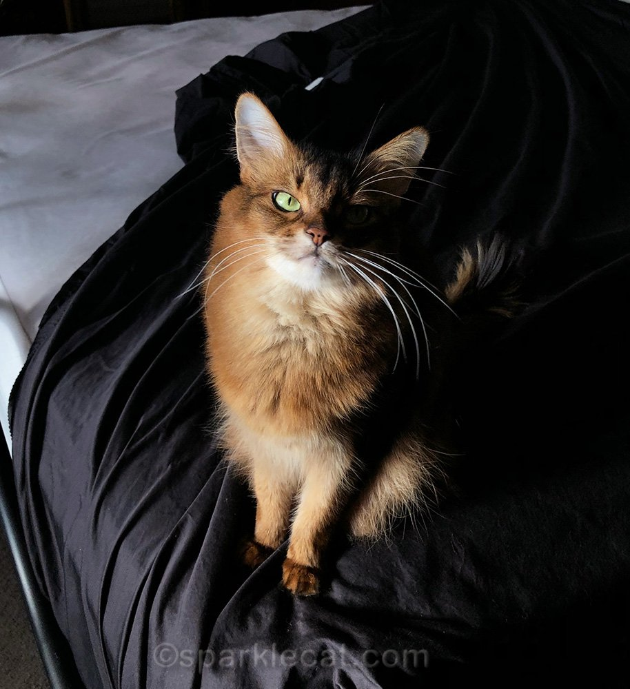 somali cat sitting on fitted sheet