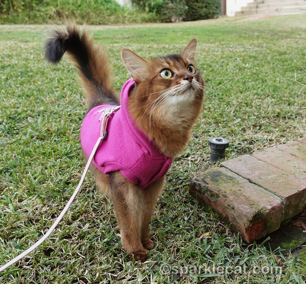 Somali cat outside, birdie watching