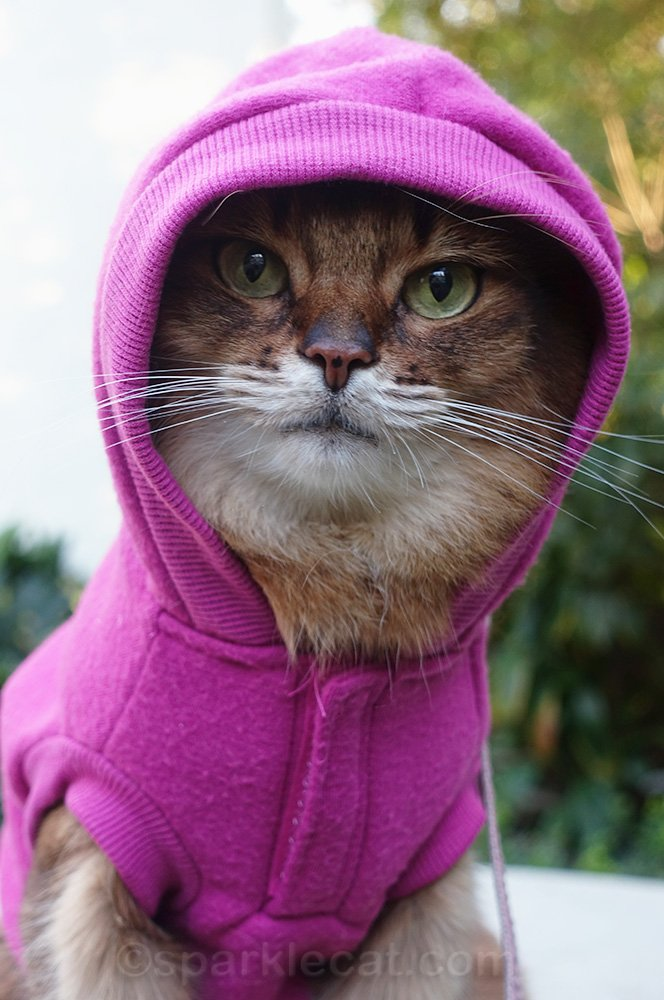 Somali cat with hoodie up