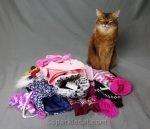 somali cat examining her winter wardrobe for meet the breeds