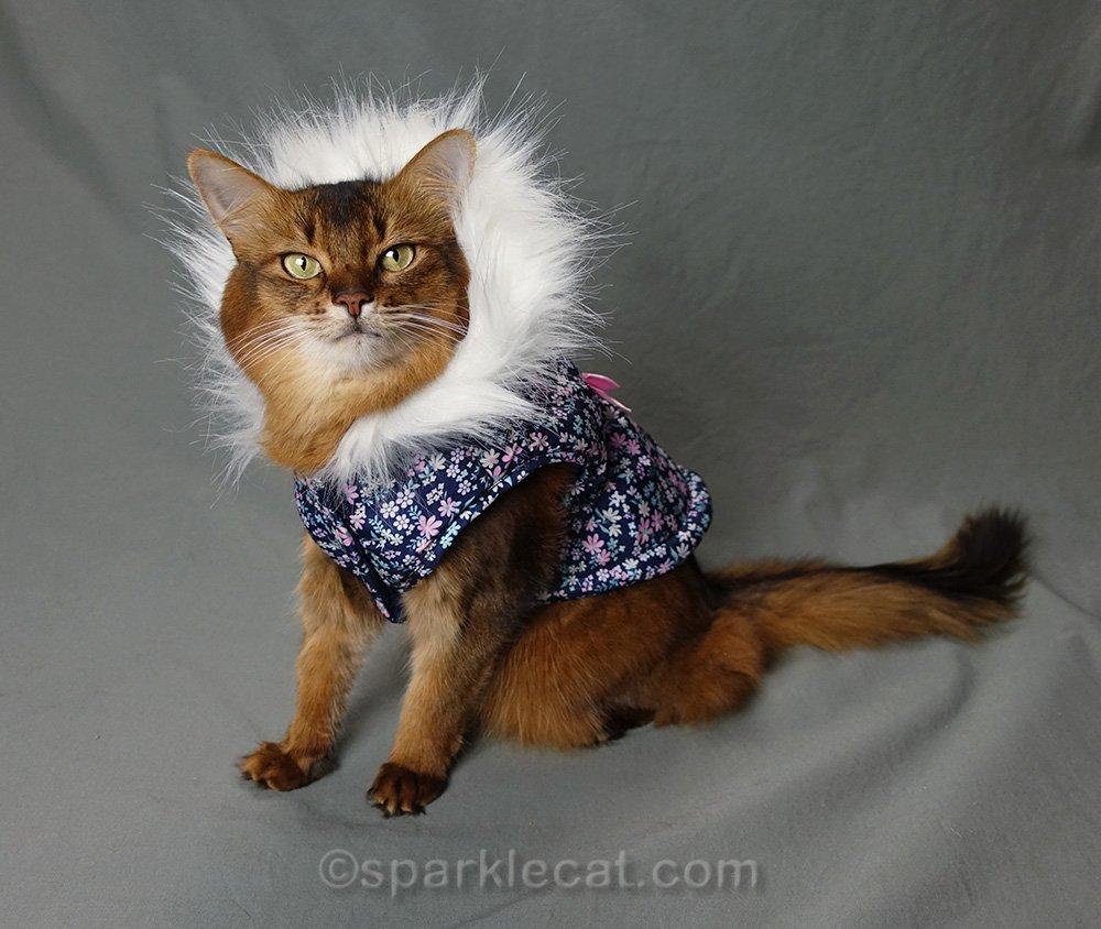 somali cat wearing a parka