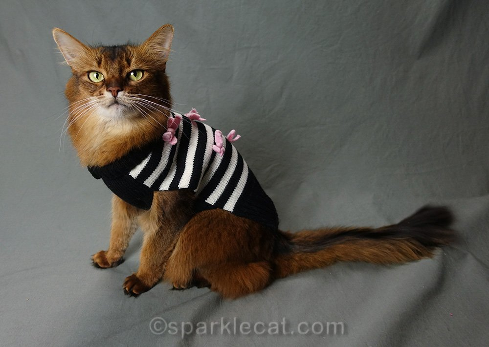 somali cat wearing black and white striped sweater