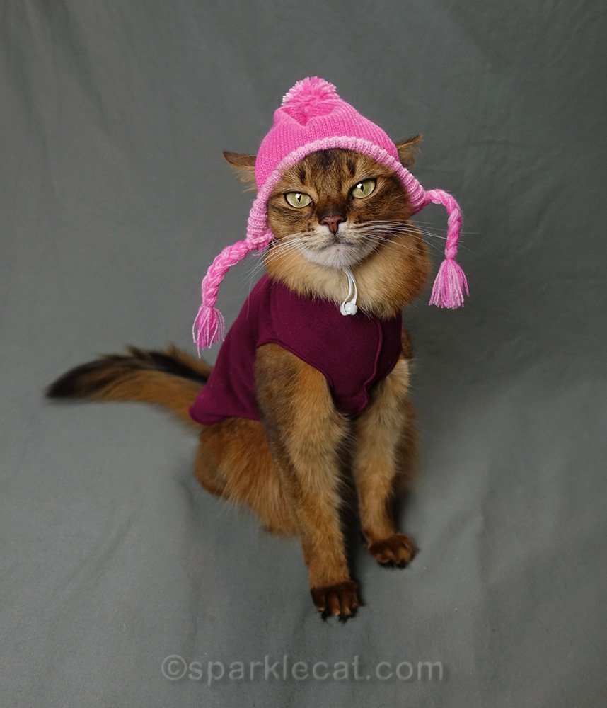 somali cat in maroon sweater and pink knit hat