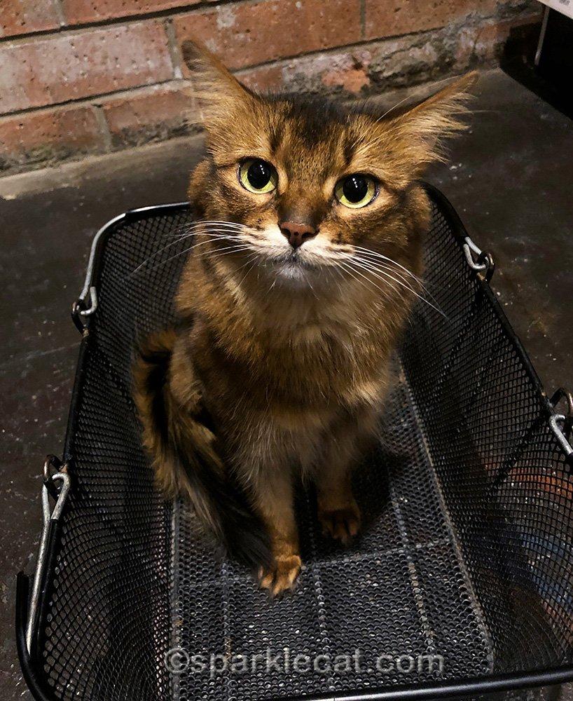 somali cat in shopping basket